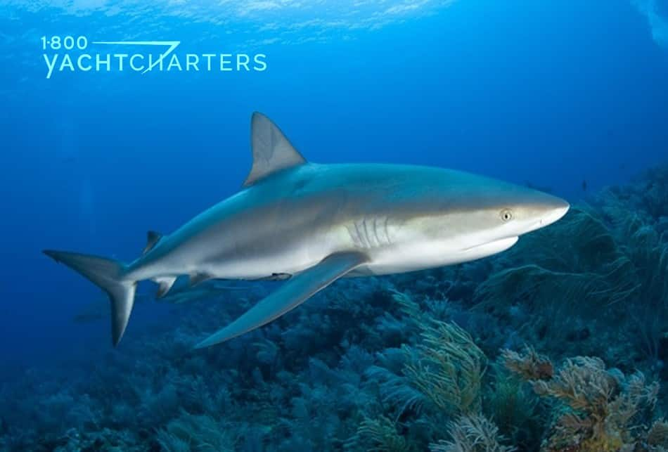 Photograph of a shark under water. It is swimming over a rocky reef.