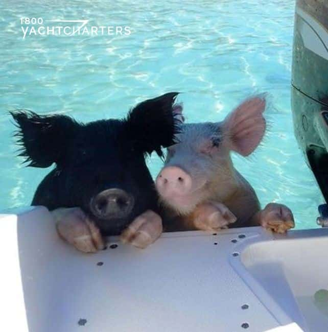 Island fun in the Bahamas. Photograph of two swimming pigs in the Bahamas. They are climbing up on the back of a powerboat. One pig is pink. One pig is black.  The pink pig seems to be smiling. The water behind them is clear and turquoise. the boat is white.  They are hanging on with their front legs.