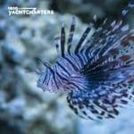 Lionfish photograph. The fish is swimming toward the left of the screen. The blurred background is coral rock on a bed of sand.