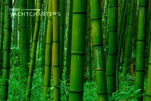 Photograph of a green forest of bamboo stalks