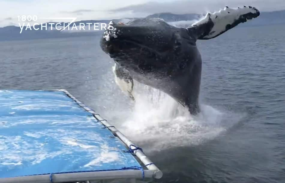 Photograph of a whale breaching next to a catamaran sailboat. The whale is on the right side of the screen. The catamaran is on the left side of the screen. The whale is breaching toward the left side of the screen. The water is dark.