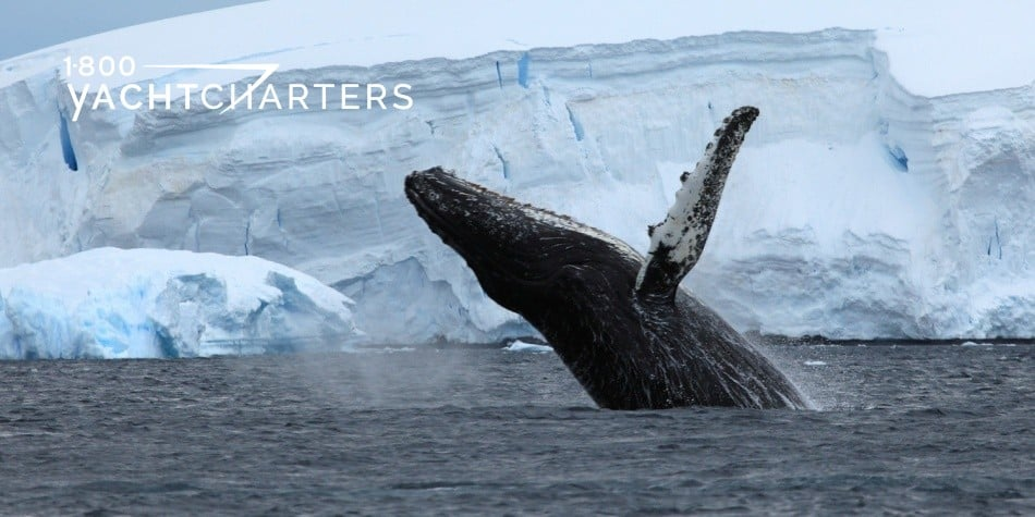 Photograph of a whale breaching in Antarctica. Photo shows whale in foreground with frozen mountains in the background. Dark blue water