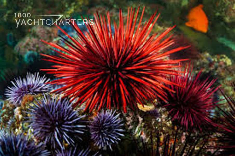 Photograph of a large red sea urchin and 3 small purple sea urchins on a rock in front of it.  Photo taken underwater