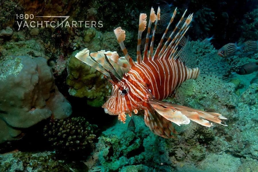 Photo of a red and white lionfish swimming over a reef in dark green water