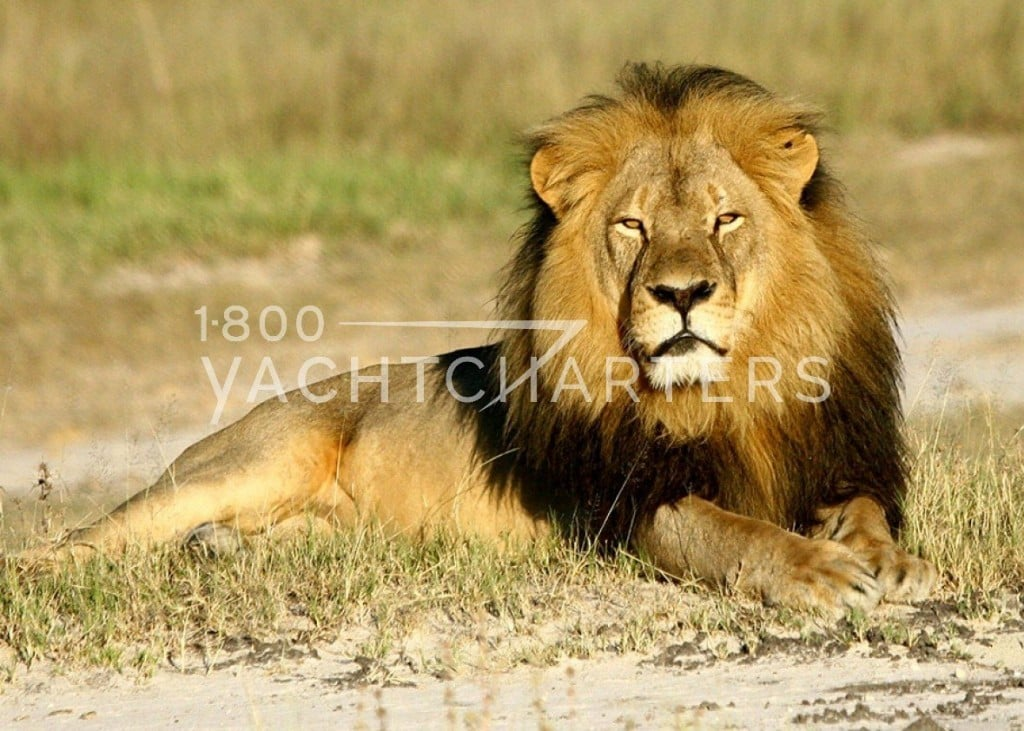 Cecil the lion who was killed by Walter J. Palmer, the dentist who was a trophy hunter