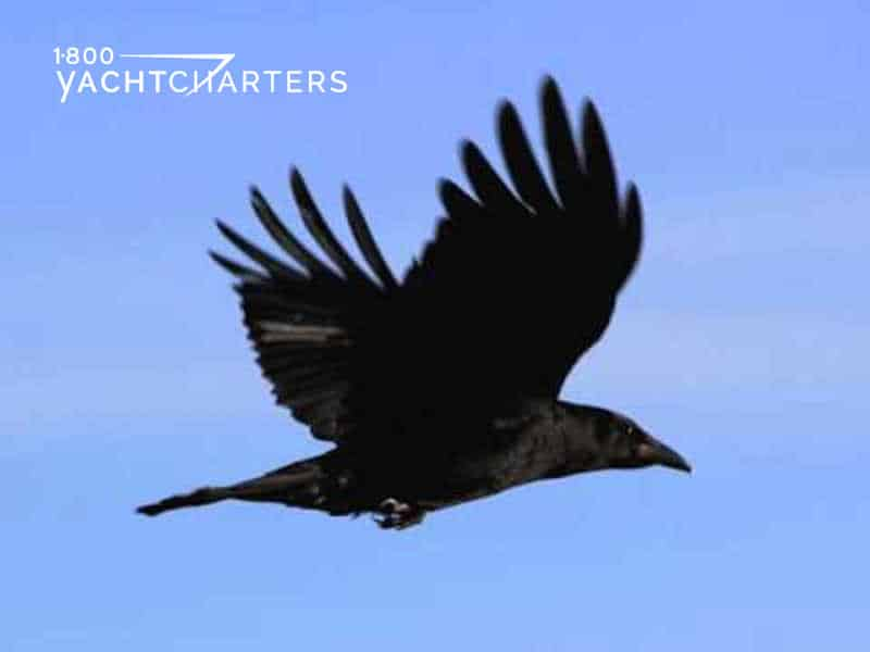a flying black crow on a sky blue background