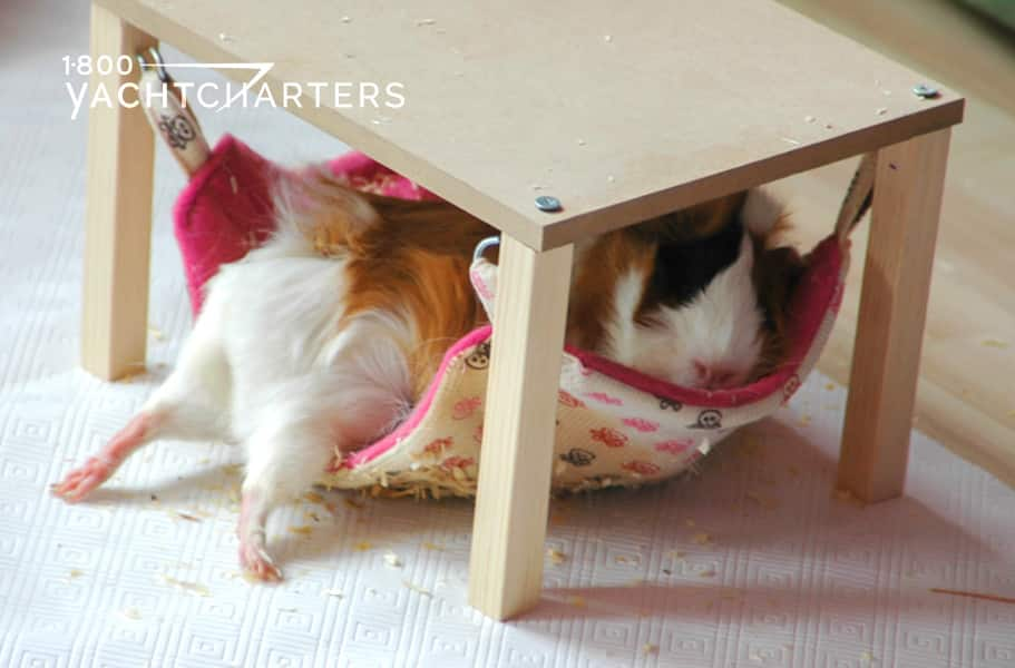 brown and white guinea pig in a hammock with back legs sticking out